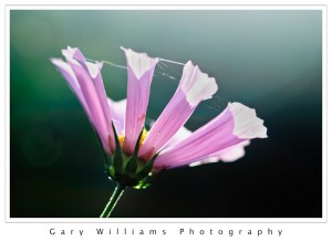 Photograph of a delicate backlighted translucent purple flower