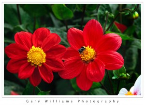 Photograph of red Dahlia flowers at the Dahlia Garden in Golden Gate Park, San Francisco, California