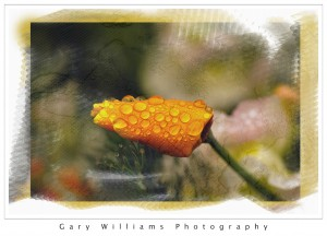 Photograph of a poppy plant covered with raindrops painted over with watercolor brush