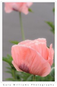 Photograph closeup of an Icelandic poppy