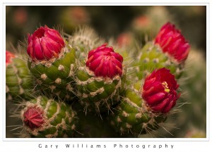Photograph closeup of red cactus flowers cactus spines