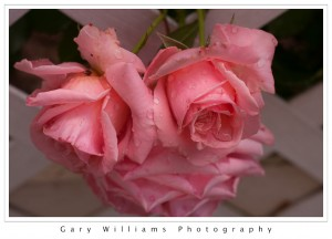 Photograph closeup of pink roses covered with raindrops