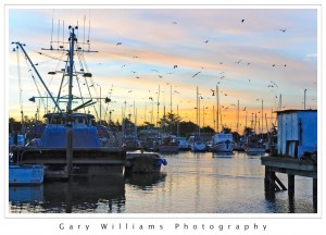 Photograph of many Sea Gulls flying over boats at Moss Landing Harbor