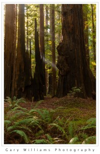 Photograph of redwood trees at Humboldt Redwoods State Park in Northern California