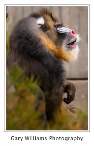 Photograph of a Mandrill at the San Francisco Zoo in San Francisco, California