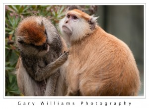 Photograph of Patas monkeys grooming at the San Francisco Zoo in San Francisco, California