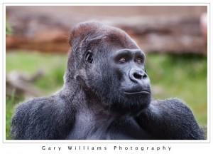 Photograph of a Western Lowland Gorilla at the San Francisco Zoo in San Francisco, California