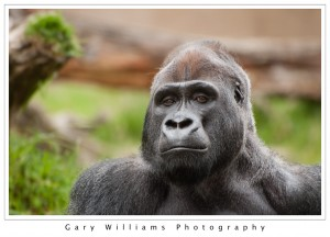 Photograph of a Western Lowland Gorilla at the San Francisco Zoo in San Francisco, California