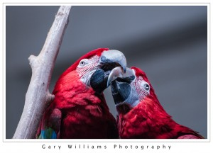 Photograph of a Green-winged Macaw at the San Francisco Zoo in San Francisco, California