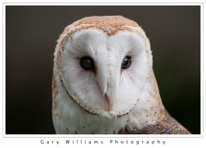 Photograph of a Barn Owl at the San Francisco Zoo in San Francisco, California