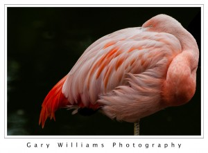 Photograph of a Chilean Flamingo at the San Francisco Zoo in San Francisco, California