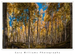 Photograph of aspen trees on the Aspen Vista Trail near Santa Fe, New Mexico