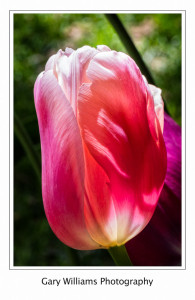 Photograph of pink tulips at the Butchart Gardens, British Columbia, Canada