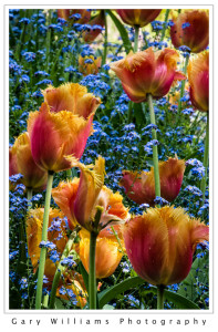 Photograph of colorful flowers at the Butchart Gardens, British Columbia, Canada