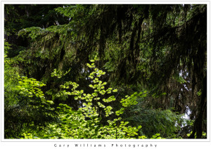 Photograph of backlighted leaves in the Hoh Rain Forest in the Olympic National Park, Washington