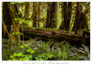 Photograph of fallen logs and luxurious plant growth in the Hoh Rain Forest in the Olympic National Park, Washington