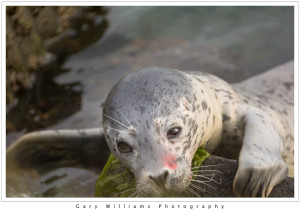 Photograph of a wounded baby Harbor Seal, Phoca vitulina, at Moss Landing, California
