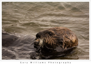 Photograph of a Southern Sea Otter, Enhydra lutris nereis, at Moss Landing, California