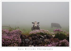 Photograph of a Friesian cow and flowers near Chapel Porth, Cornwall, England