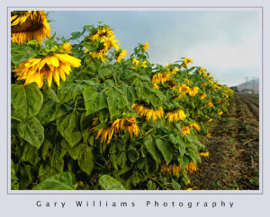Photograph of sunflowers near Anzar Road, San Juan Bautista, California