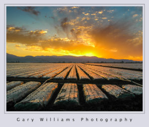 Photograph of the sun rising over the Gabilan Range and reflected from plastic covering strawberries in Salinas, California