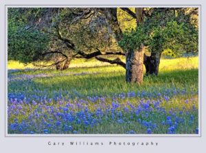 Photograph of an oak tree surrounded by lupine in Prunedale, California