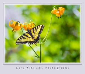 Photograph of a swallowtail butterfly feeding on flowers in the Sierra Nevada Mountains in California