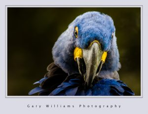 Photograph of a blue parrot