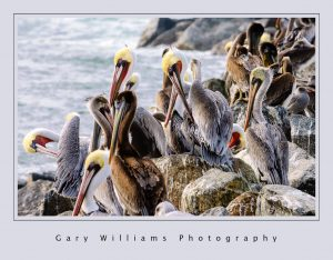 Photograph of pelicans on the breakwater at the Moss Landing Harbor