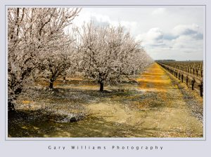 Photograph of an orchard, clouds, trees and farmland in Easton, California