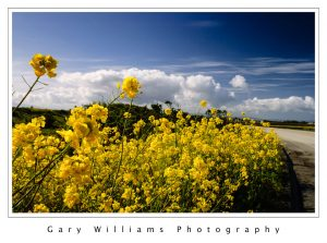 Photograph of bright yellow mustard plants and clouds near Marina, California