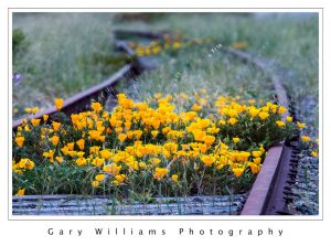 Photograph of poppies growing between unused railroad tracks near Marina, California