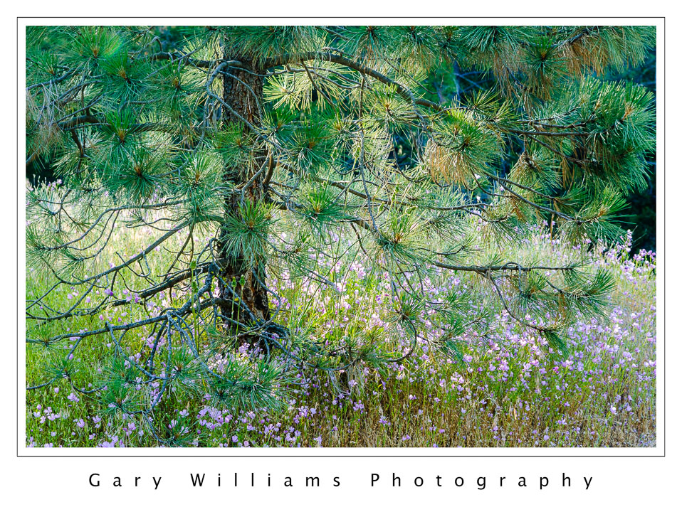 A look backflowers and pine gary williams photography photograph of a pine tree and small pink flowers in the sierra nevada mountains in kings mightylinksfo