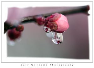 Photograph of a raindrop suspended from a flowering Plum tree bud Prunedale, California