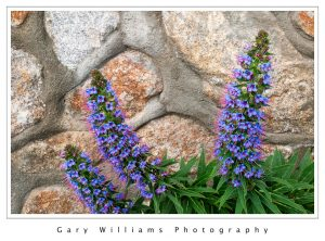 Photograph of purple echium against a stone wall in Pacific Grove, California