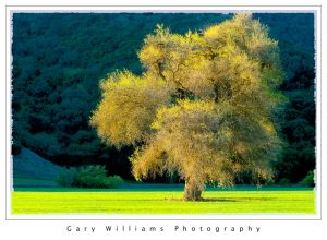 Photograph of a single tree in golden light near Mission San Antonio