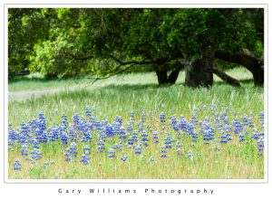 Photograph of lupine flowers in front of an oak tree, Prunedale, California
