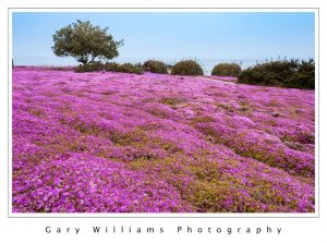 "Photograph of ""Magic Carpet"" ice plant flowers in Pacific Grove, California"