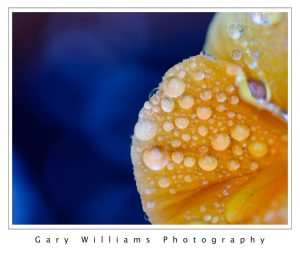 Photograph of raindrops on a poppy petal
