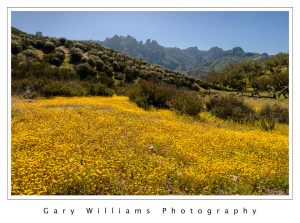 Photograph of California Goldfield flowers at Pinnacles National Park