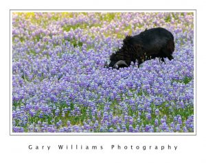 Photograph of a ram standing in a field of lupine in Prunedale, California