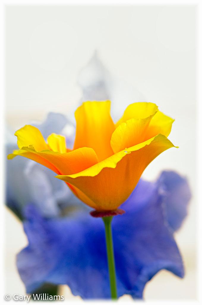 Poppies_Sample-120-of-128.jpg