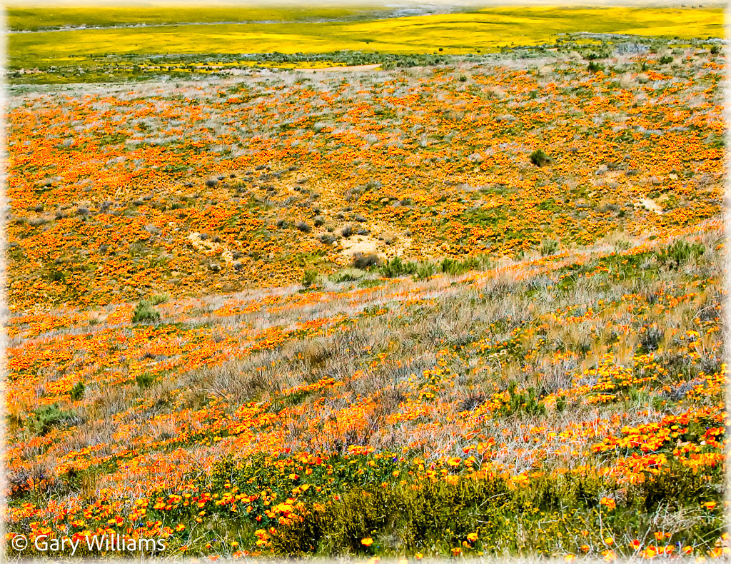 Poppies_Sample-78-of-128.jpg