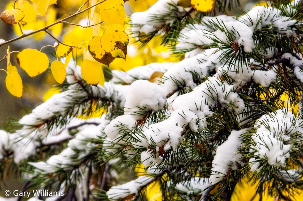 aspen-leaves-and-snowy-branch.jpg